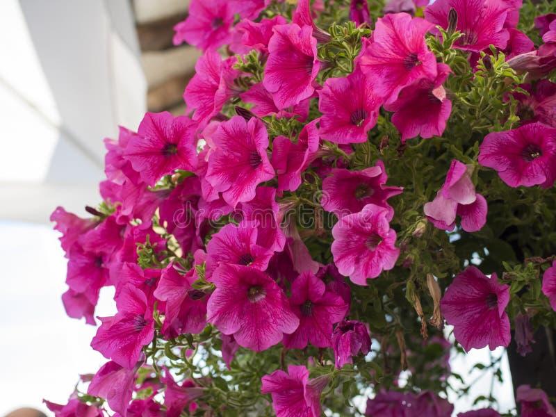 Розовые цветки стоковые фото