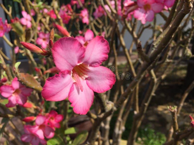 Download Розовые цветки стоковое изображение. изображение насчитывающей closeup - 81815303