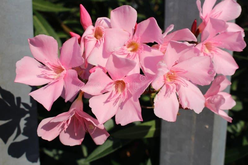 Розовые цветки стоковая фотография