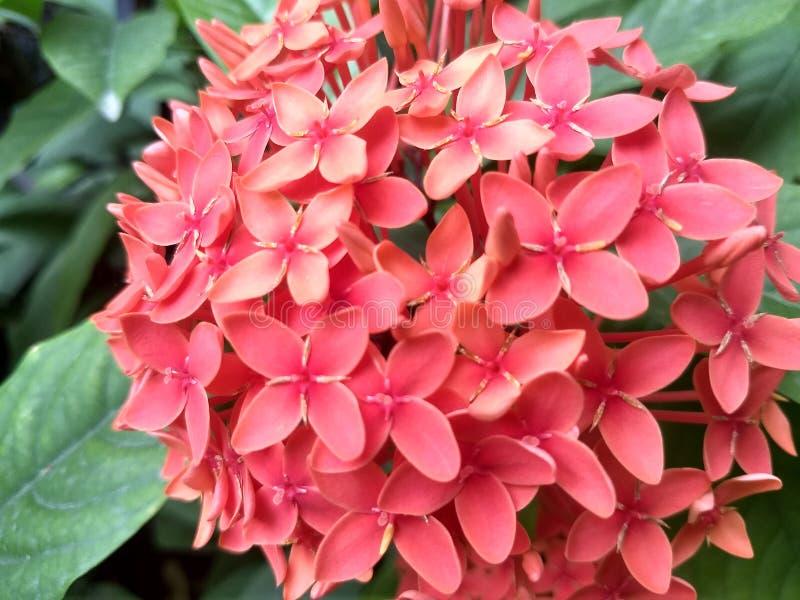 Розовые цветки coccinea ixora в саде стоковое фото