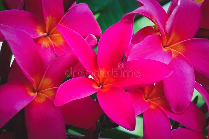 Розовые цветки Frangipani plumeria в ботаническом саде, Кауаи, Гаваи, США стоковое изображение