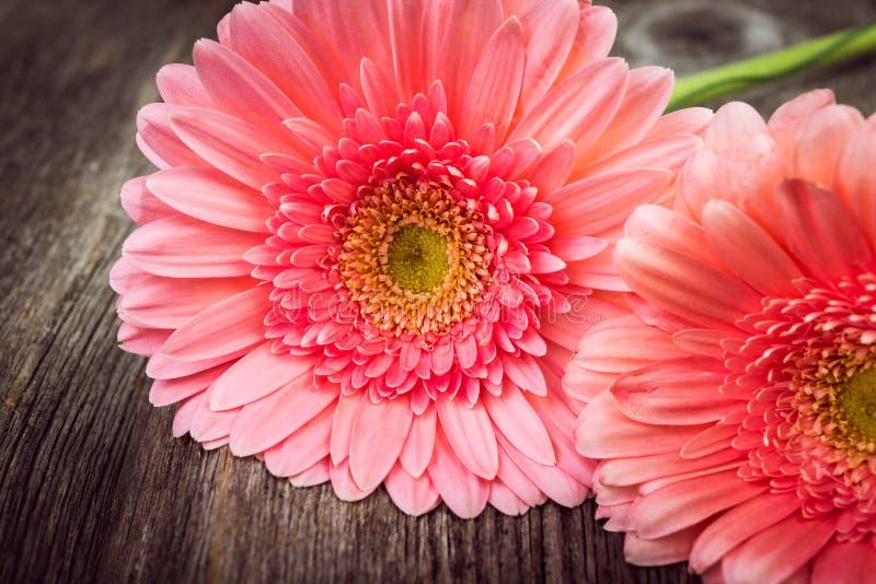 Розовые цветки gerbera маргаритки стоковые фотографии rf