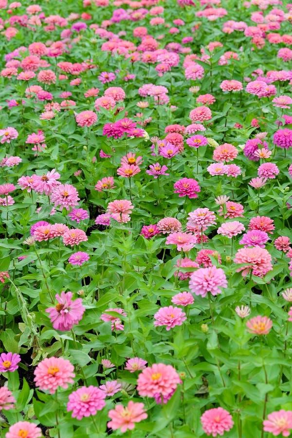 Розовые цветки gerbera маргаритки стоковые изображения rf