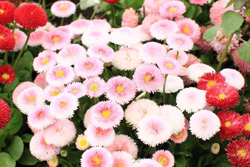 Розовые цветки - immortelle стоковая фотография