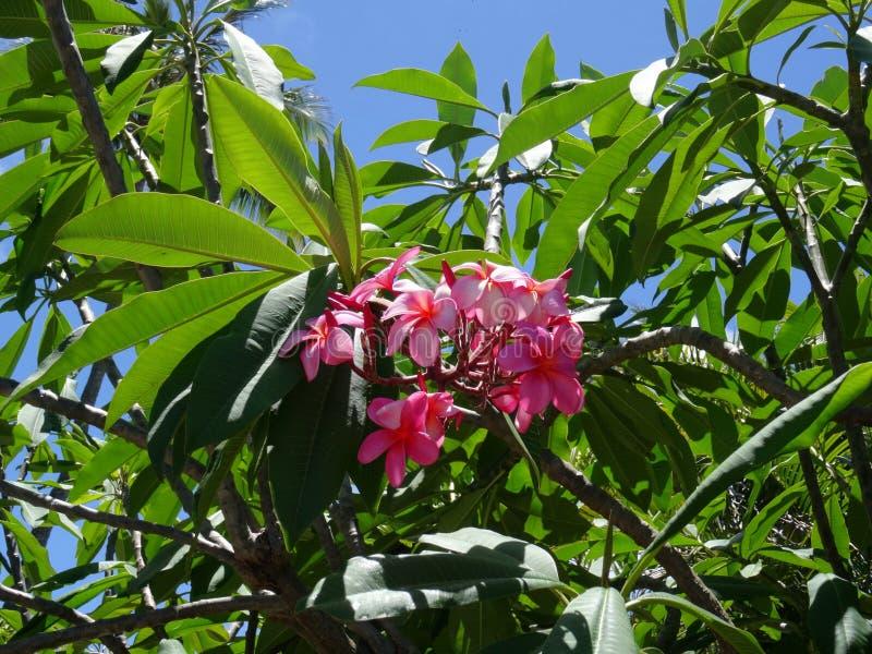 Розовые цветки plumeria Frangipani на дереве в большом острове, Гаваи стоковые фото