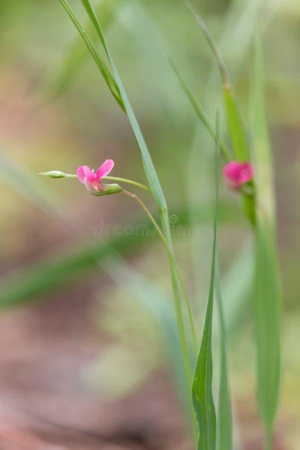 Розовые цветки vetchling травы с запачканной зеленой предпосылкой стоковое фото rf