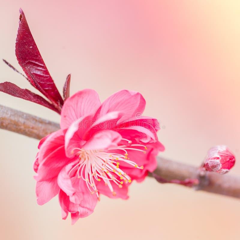 Розовые цветок и бутон вишни стоковое изображение rf
