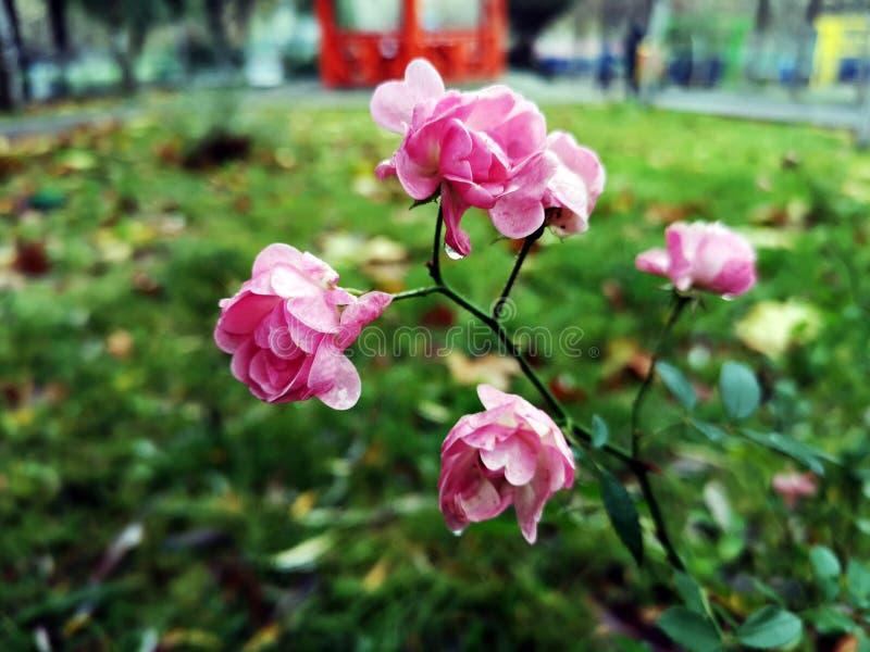 Розовые цветы в саду - розы стоковое фото rf