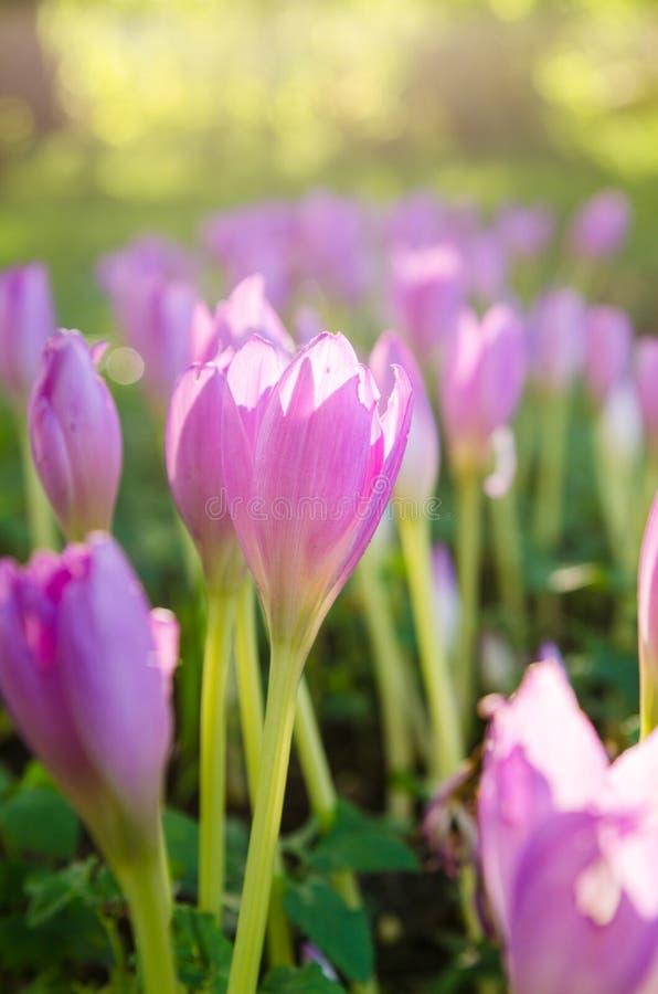 Розовые blossoming крокусы в саде стоковое фото