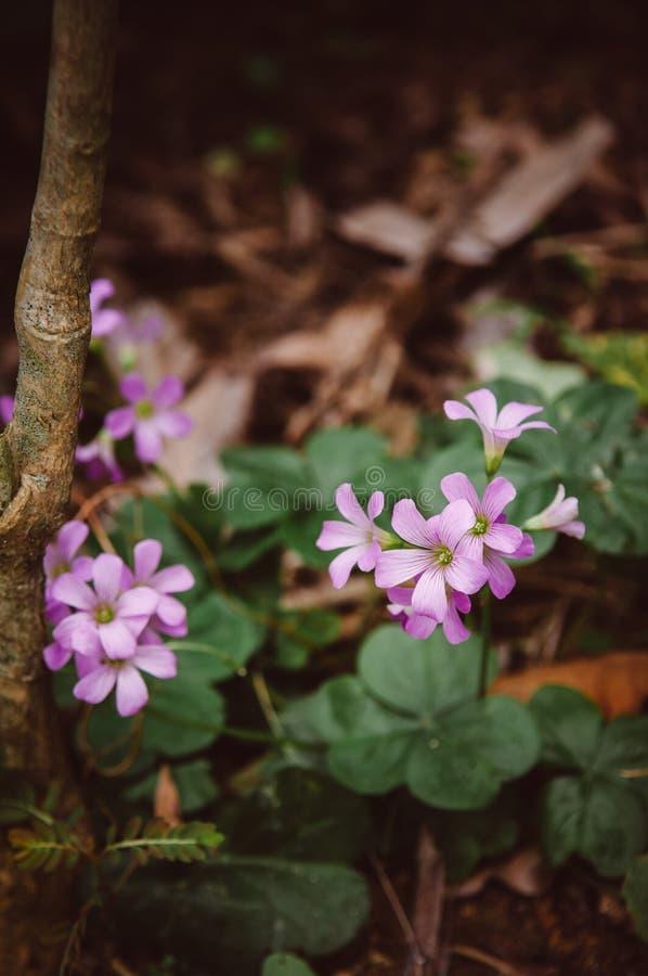 Розовые oxalis цветут деревянный щавель в одичалом лесе природы стоковое фото rf