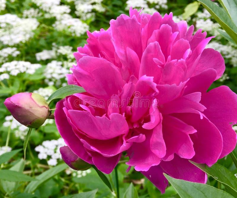 Розовые peonie и бутон стоковые фотографии rf