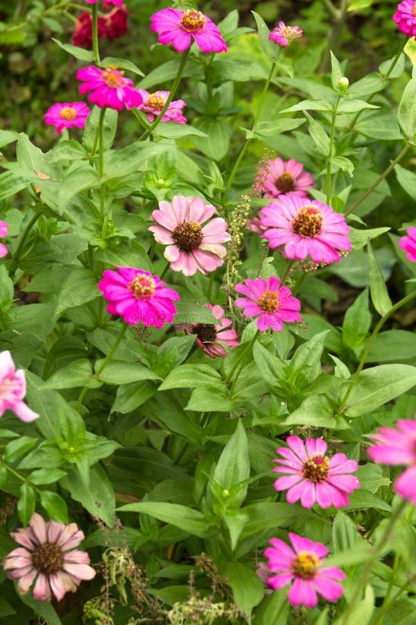 Розовые Zinnias стоковые фотографии rf