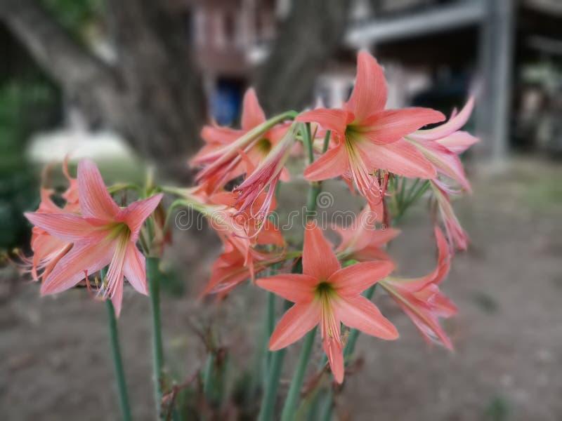 Розовый амарулис стоковое изображение rf
