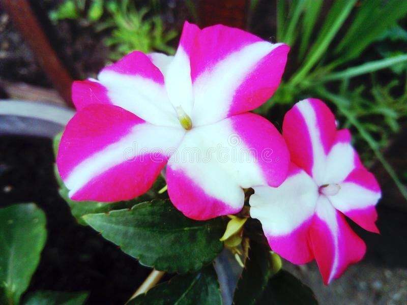 Розовый белый цветок impatiens стоковые фотографии rf