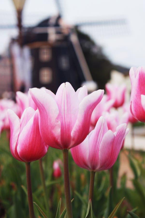 Розовый белый шкаф тюльпана вверх стоковые фотографии rf