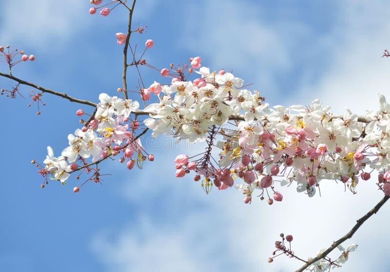 Розовый, белый, цветок желать дерево, дерево craib bakeriana кассии, стоковое фото