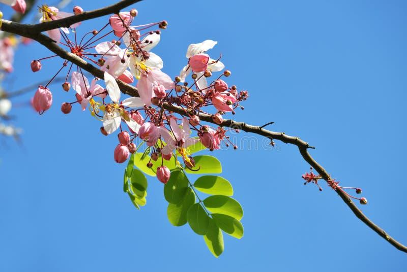 Розовый, белый, цветок желать дерево, дерево craib bakeriana кассии, стоковое фото rf