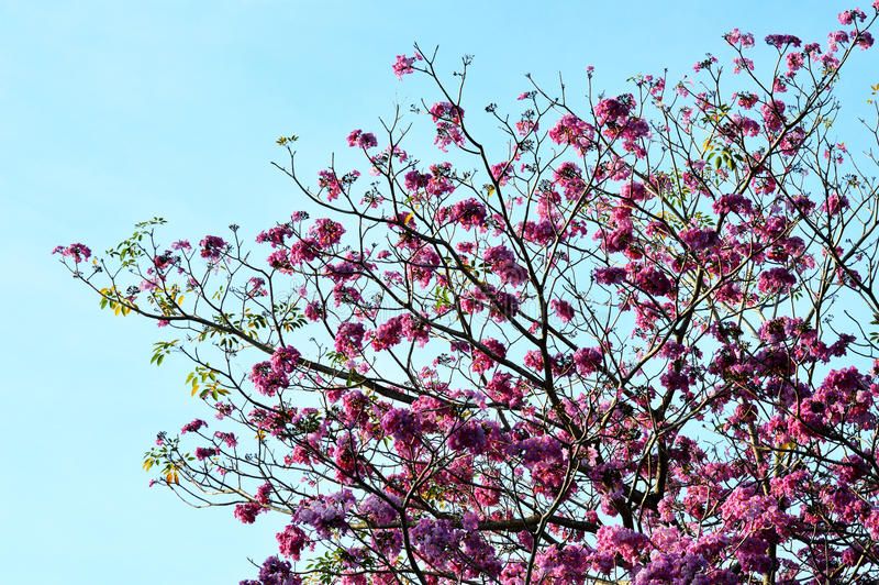 Розовый, белый, цветок желать дерево, дерево craib bakeriana кассии, стоковые фото