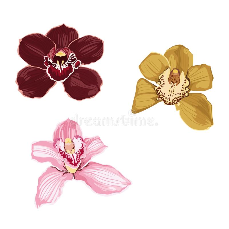 Розовый бургундский желтый цветок орхидеи изолированный на белой предпосылке иллюстрация вектора