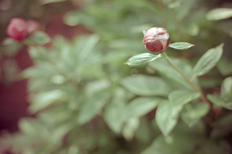 Розовый бутон пиона стоковое фото