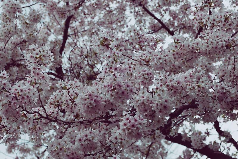 Розовый вишневый цвет в цветени стоковые изображения