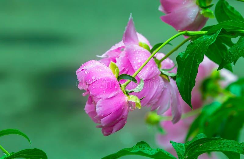 Розовый влажный пион стоковые фотографии rf
