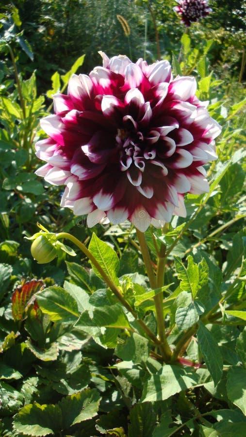 Розовый георгин цветок, известен для ослеплять красоты, возбуждает страсть и нажимает на сумашедших поступках стоковая фотография