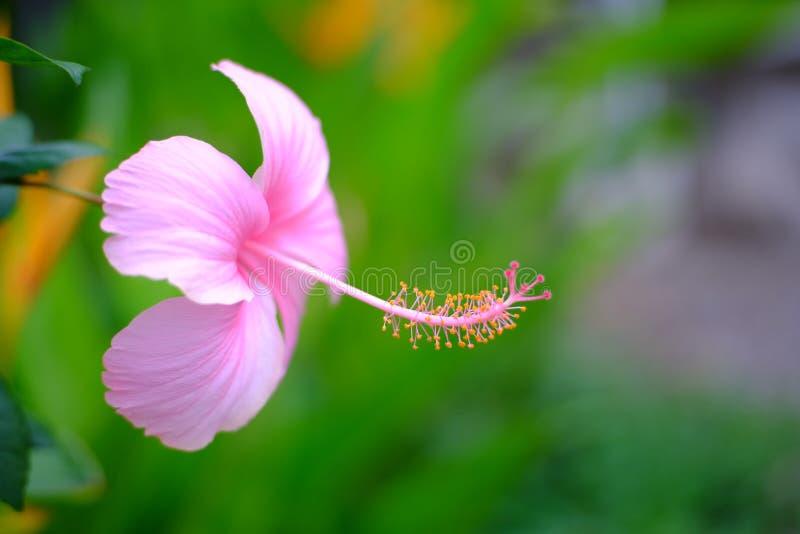 Розовый гибискус с желтым плодолистиком стоковая фотография