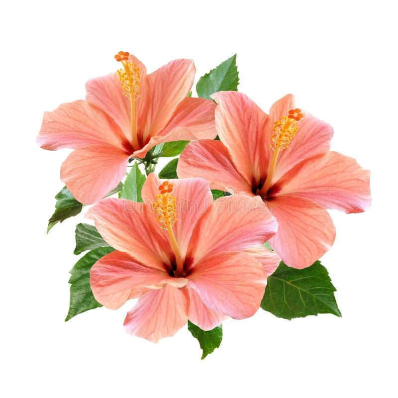 Розовый гибискус цветет букет изолированный на белой предпосылке стоковое изображение