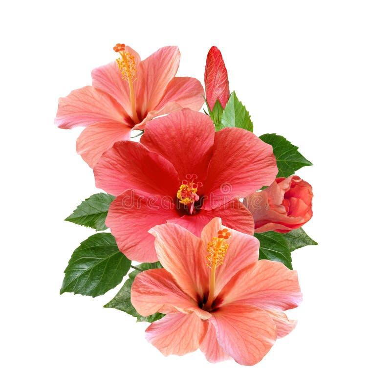 Розовый гибискус цветет букет изолированный на белой предпосылке стоковое фото rf