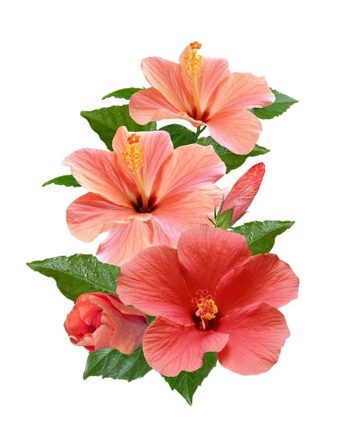 Розовый гибискус цветет изолированный и выходит стоковые изображения rf