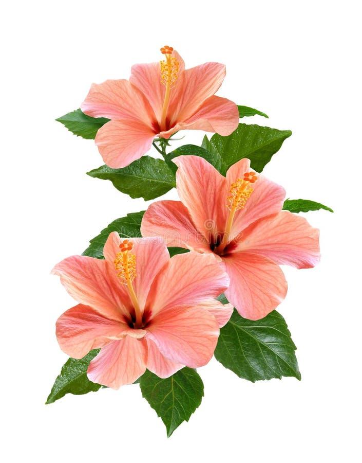 Розовый гибискус цветет изолированный и выходит стоковое изображение