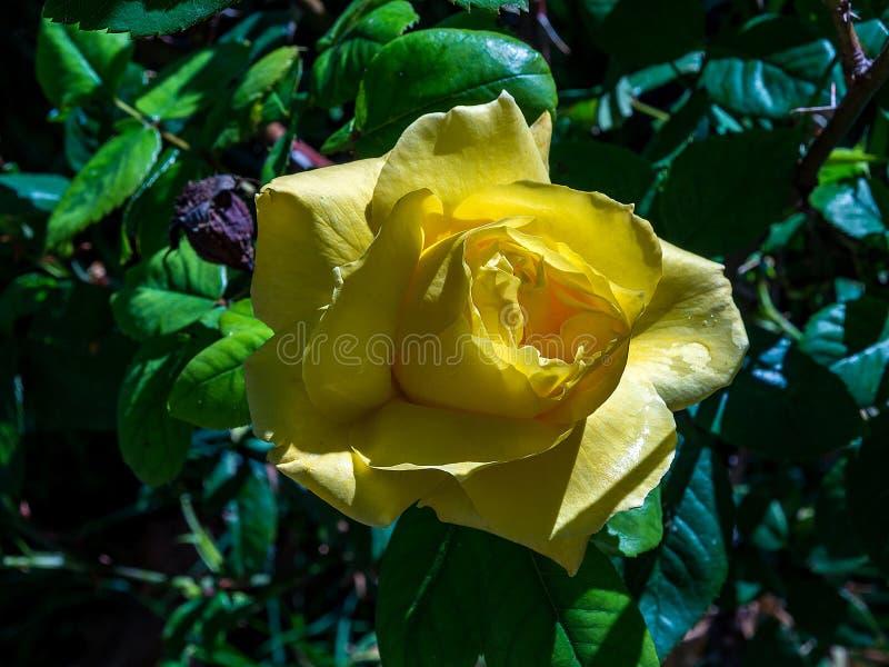 Розовый желтый цвет цветка стоковые изображения rf