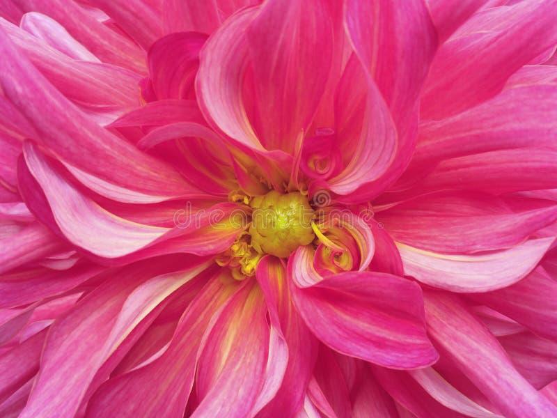 Розовый желтый цветок хризантемы closeup Макрос стоковая фотография rf