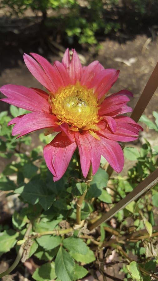 Розовый желтый цветок стоковое фото rf