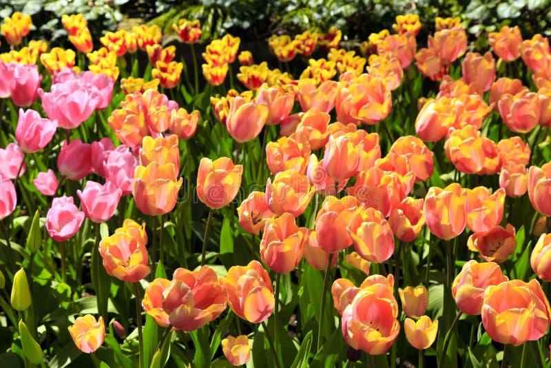 розовый желтый цвет тюльпанов стоковая фотография
