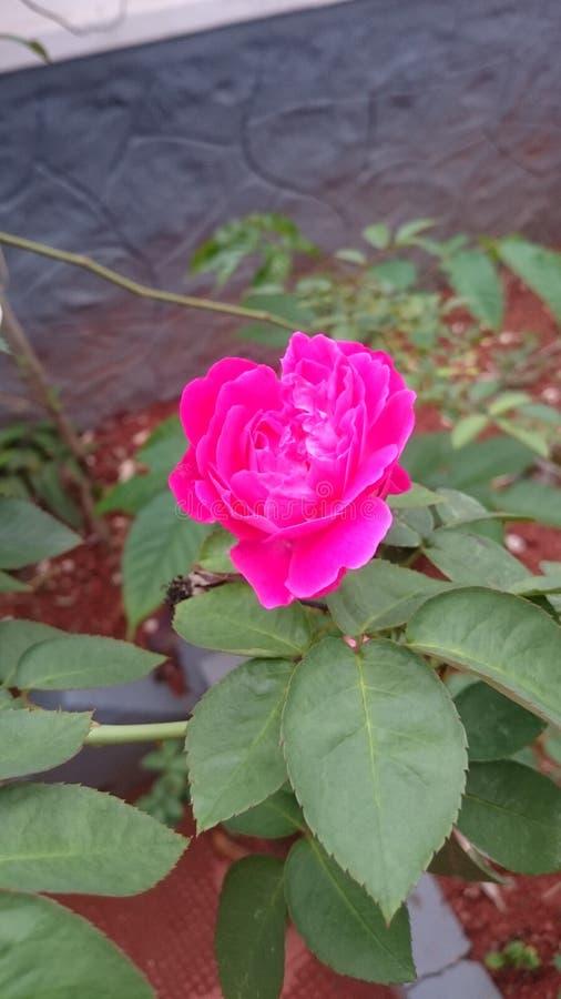 Розовый завод стоковое фото rf