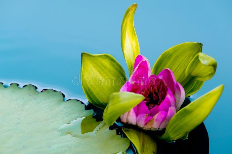 Розовый зацветая лотос стоковые изображения rf