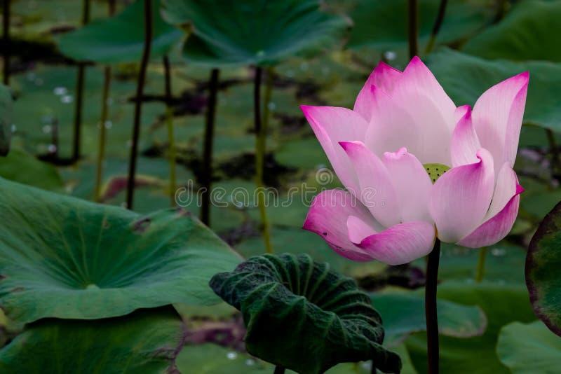 Розовый зацветая лотос стоковая фотография rf