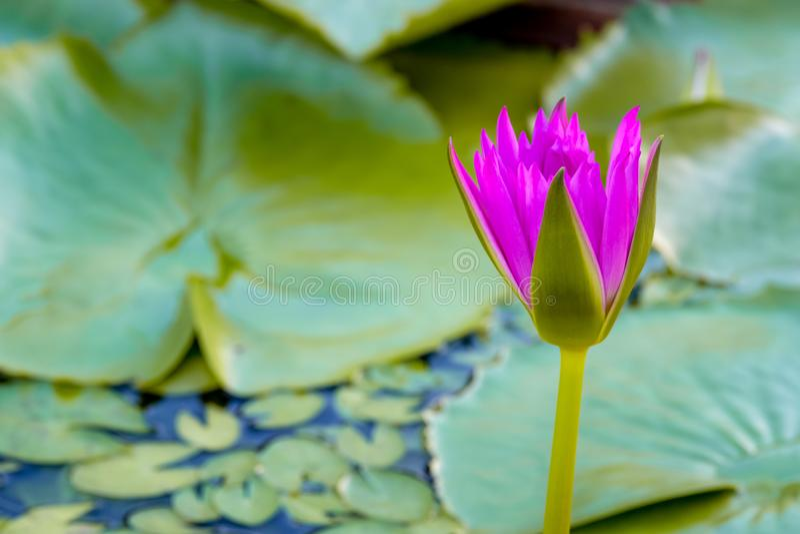 Розовый зацветая лотос стоковое фото rf