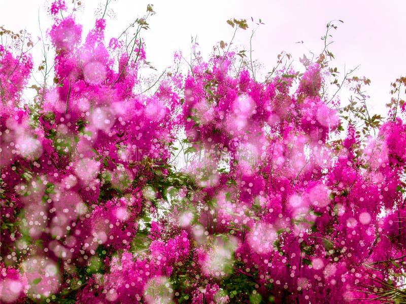 Розовый ливень цветет цветене все дерево в осени стоковое фото