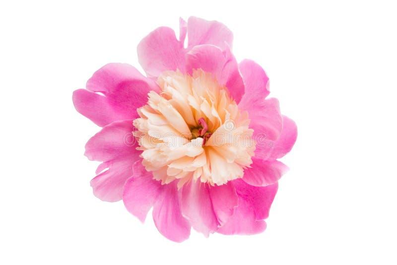 Розовый изолированный Peony стоковые фото