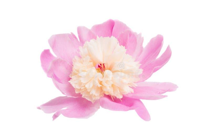 Розовый изолированный Peony стоковая фотография rf