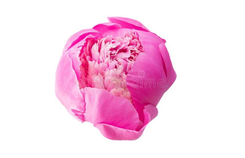 Розовый изолированный Peony стоковые изображения rf