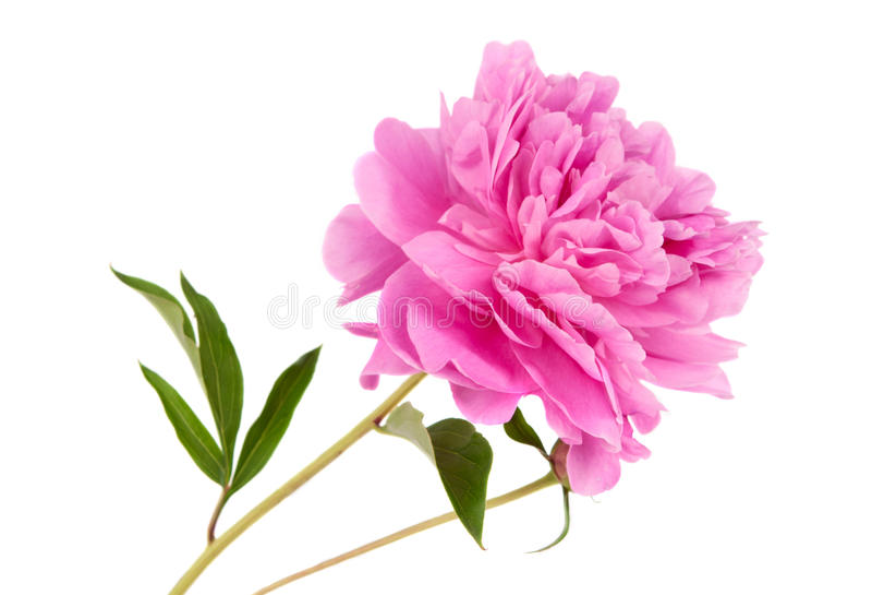 Розовый изолированный Peony стоковая фотография