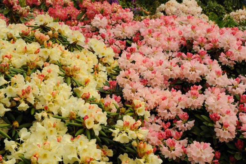 Розовый и белый рододендрон стоковое фото
