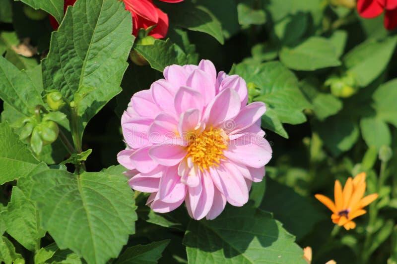 Розовый и желтый цветок стоковые изображения rf