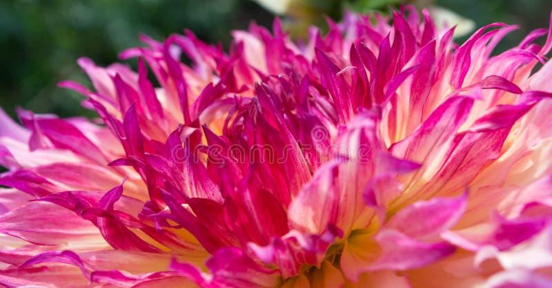 Розовый и красный георгин стоковые фотографии rf