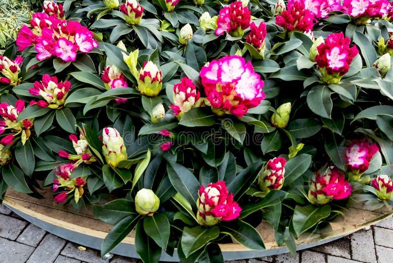 Розовый и красный рододендрон стоковая фотография rf