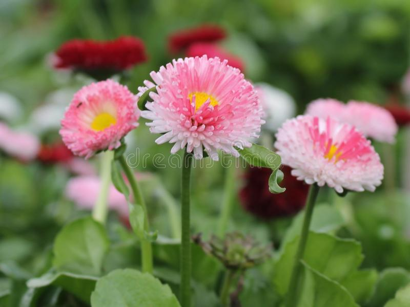 Розовый и красный Bellis стоковые изображения rf
